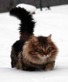 Russian Siberian Cat- I can't wait to see Oliver in the snow this year!!!