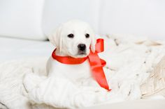 Snowy Pines White Labs is a family business that has been breeding, raising and selling English Labradors, White Labradors and White English Lab puppies for two generations. English Labrador Puppies, White Labrador Puppy, Labrador Breeders, Labrador Retriever, Dog Safety, Funny Dog Pictures, Dog Harness, Pet Store, Family Business
