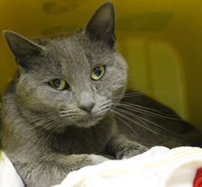 Intake: 3/31 Available: 4/6 NAME: Steele  ANIMAL ID: 25284907 BREED: DSH  SEX: Male  EST. AGE: 1 yr  Est Weight: 6.14 lbs  Health: Has URI!  Temperament: Friendly  ADDITIONAL INFO: RESCUE PULL FEE: $39
