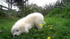 Maremma Puppy at Play