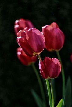 Tulips Flowers, Art Flowers, Tulip Painting, Gerbera, Amazing Flowers, Flower Art, Flower Power, Still Life, Flower Arrangements