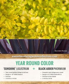 Evergreen foliage doesn't have to be green. Pair Sunshine ligustrum with the dramatic black foliage of Black Adder phormium for a high contrast black and gold combo that will make sure your garden stands out from the crowd. Container Plants, Container Gardening, Plant Design, Garden Design, Shrubs For Landscaping, Landscaping Ideas, Yellow Shrubs, Sunshine Ligustrum, Drought Tolerant Shrubs
