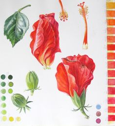 Sketchbook study page of Hibiscus flowers, buds and leaf with green and red colour charts by Shevaun Doherty #doodlewash