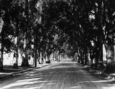 1910)^ - Tree-lined Melrose Avenue, probably in 1910, at Western Avenue. Trees were planted in the early 1880's and felled on the right side in 1922 and on the left side in 1923. This was a favorite street for horse and buggy rides on Sundays.	        Historical Notes    Melrose Avenue was named by ranch owner E.A. McCarthy after his hometown of Melrose, Mass. The McCarthy Ranch occupied most of area bounded by Western to Wilton and Melrose to Santa Monica Blvd.