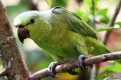 Curica-verde (Graydidascalus brachyurus)