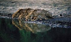 Cheetahs drink in harmony at a watering hole in Kruger National Park Big Cats Art, Cat Art, Cheetah Family, Kruger National Park, Save Animals, Cheetahs, Africa Travel, Science And Nature, Belle Photo