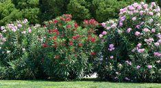 A leander tavaszi gondozása – Bevált tippek a csodás leanderért! Minden, Plants, Plant, Planets
