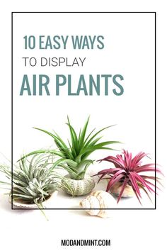 Easy Air Plant Display Ideas 10 Easy Ways to Display Air Plants Beautifully Air Plants Care, Plant Care, House Plants Decor, Plant Decor, Hanging Plants, Indoor Plants, Indoor Herbs, Cactus Plants, Garden Plants