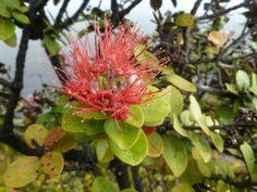 'Pele's Flower' / Lehua - Hawaii