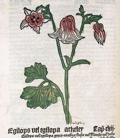 Columbine, from Der Gart der Gesundheit, 1485
