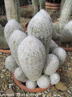 Cactus Farm, Cactus House Plants, Cacti And Succulents, Planting Succulents, Cactus Plante, California Garden, Succulent Wall, Unusual Plants, Desert Plants