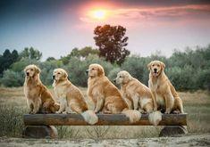 ~ LOVE GOLDENS ~ #goldenretriever