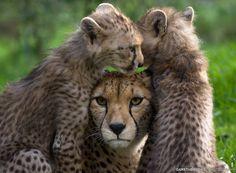 Cheetah family. Peekaboo by Gareth Brooks