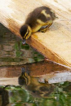 https://flic.kr/p/7n2zR9 | Duckling Reflection | Duckling at Pembroke College, Cambridge UK