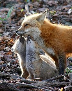 Red Fox with her cubs