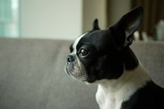12 Facts You Probably Didn't Know About Boston Terriers