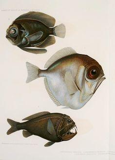 Résultats des campagnes scientifiques accomplies sur son yacht - Biodiversity Heritage Library  --  scary deep ocean fish