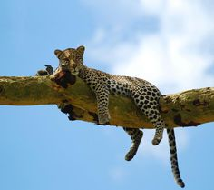 Livin' the life of a leopard.