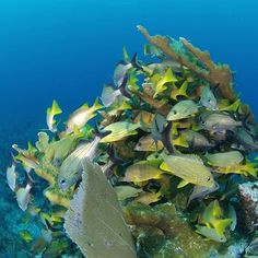 【umigasuki_h28】さんのInstagramをピンしています。 《#ベリーズ #海 #カリブ海 #魚 #熱帯魚 #サンゴ礁 #世界遺産 #自然保護区 #ダイビング  #海の世界 🌊🐠✨ #belize #sea #caribbeansea #fish #tropicalfish #coralreef #worldheritage #belizebarrierreef  #diving #underwaterlife 🌊🐠✨》