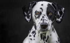 Lataa kuva Dalmatian, koira, lemmikit, täplikäs koira