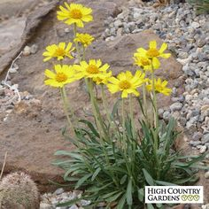 The large, cheerful yellow daisies of Hymenoxys acaulis v. ivesiana (Western Sundancer Daisy), a  Colorado native wildflower, appear in late spring and again later in the summer with the summer rains.