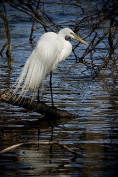 Gorgeous, graceful Egret...fantastic photography! <pin by Norine Helms on Long Legged Birds>