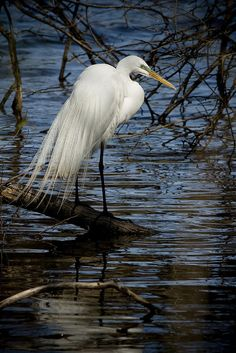 Gorgeous, graceful Egret...fantastic photography! <pin by Norine Helms on Long Legged Birds>