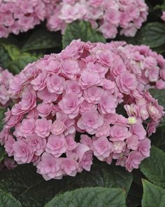 """Front driveway corner Spring 2015 Forever and Ever """"Together"""" Hydrangea, Bought Spring 2012."""