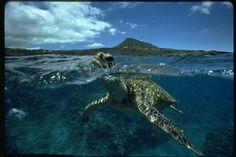 Sea turtle <3