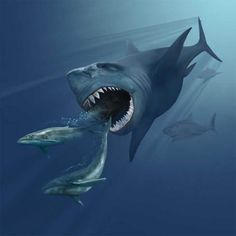 Megalodon was the biggest shark that ever lived, making the Great White Shark seem like a guppy. Here are 10 fascinating Megalodon facts.: Megalodon Liked to Munch on Giant Whales Marine Museum, Big Shark, Megalodon Shark, Big Animals, Prehistoric Creatures, Great White Shark, Shark Week, Tyrannosaurus, Animal Illustrations