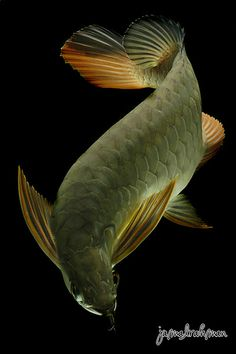 Red Tail Golden Arowana by Jamal Rahman