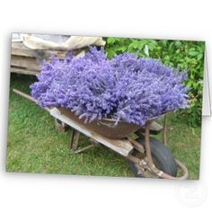 wheelbarrow filled with lavender.