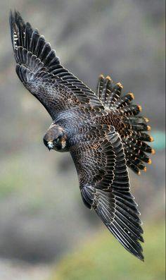 Juvenile Perigrine Falcon