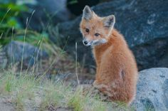 Red Fox Cub by Nonaka