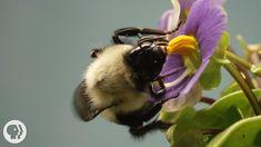 This Vibrating Bumblebee Unlocks a Flower's Hidden Treasure (3:48min) |  #DeepLook on YouTube