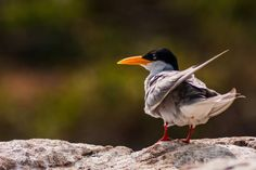 River tern - Photography by Subbu Sullia in Nature at touchtalent