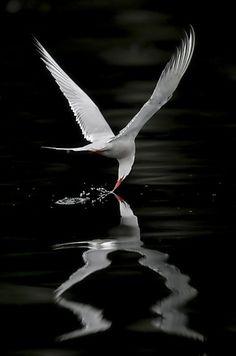 Artic Tern - © Miguel Lasa by Eva