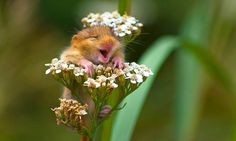 The tiny dormouse could not suppress his delight that spring has finally come when he got to the top of this blossom and let out a hearty chuckle in Italy.