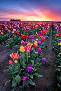 Spring Tulips, Woodburn, Oregon Visit our Page -►Wildlife and Nature Pictures ◄- For more photos Garden Care, Beautiful Flowers, Beautiful Places, Amazing Places, Amazing Things, Tulip Bulbs, Tulip Fields, Wonders Of The World, Mother Nature