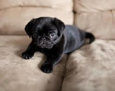 This cute, black pug puppy is so adorable!