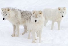3 Wishes - Arctic Wolf by Jim Cumming on 500px