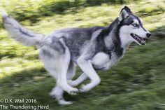 Don't walk when you can run. #dog #siberianhusky #husky