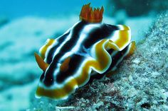 Elisabeths Chromodoris at Great Barrier Reef