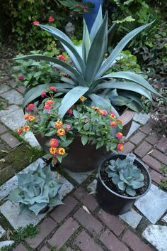 Three Agaves feeling a little blue. Agave weberi (I'm truly sorry about the lantana. Succulent Gardening, Succulents Garden, Container Gardening, Planting Flowers, Sansevieria Plant, Townhouse Garden, Sweet Autumn Clematis, Low Maintenance Garden, Garden Edging