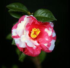 Japanese camellia (Tsubaki)