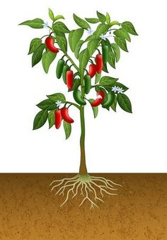 Ilustraci�n de la planta de pimiento jalape�o