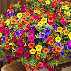 Hanging Petunia Mixed flores Color Waves Beautiful Flowers For Garden Plant Bonsai Flower plantas, Petunia Care, Petunia Flower, Container Flowers, Container Plants, Succulent Containers, Flower Seeds, Flower Pots, Flower Planters, Million Bells Flowers