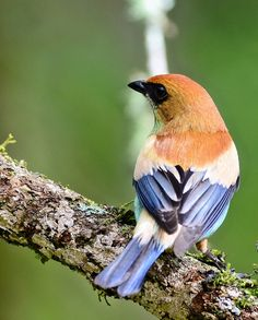 The Chestnut-backed Tanager (Tangara preciosa) is a species of bird in the Thraupidae family. It is found in Atlantic Forest in south-eastern Brazil, north-eastern Argentina, eastern Paraguay, and Uruguay. It is closely related to the rarer Black-backed Tanager, and females of the two species are indistinguishable.