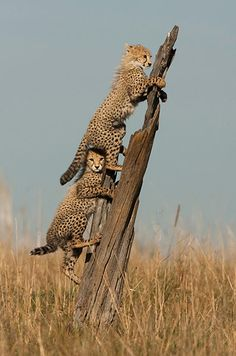 Credit: Paul Goldstein/Exodus/Rex Features A young cheetah peers from under its sibling's tail on a tree trunk in Kenya's Masai Mara national park