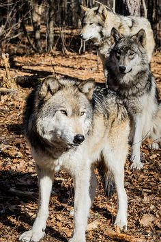 three timber wolves